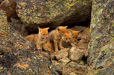 Litter of Coyote (Canis latrans) pups emerging from den Yellowstone National Park, Wyoming, USA, June  -  Tom Mangelsen/ npl
