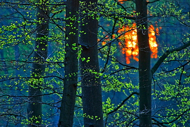 European beech (Fagus sylvatica) trunks with sun setting behind Serrahn, Muritz-National Park, World Natural Heritage site, Germany, April  -  Sandra Bartocha/ npl