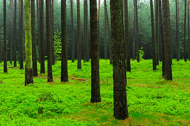 Scots pine (Pinus sylvestris) forest in spring, Muritz-National Park, Germany, May  -  Sandra Bartocha/ npl