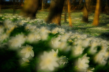 Wood anemones (Anemone nemorosa) flowering in European beech (Fagus sylvatica) forest, Neubrandenburg, Germany, April  -  Sandra Bartocha/ npl