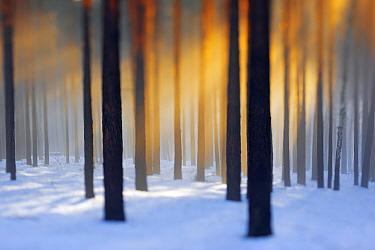 Scots pine (Pinus sylvestris) trees in snowy woodland in evening sunlight, Potsdam, Germany, January  -  Sandra Bartocha/ npl