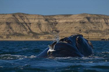 Southern right whale (Eubalaena australis) at surface with Kelp gull (Larus dominicanus) Valdes Peninsula, Chubut, Patagonia, Argentina  -  Gabriel Rojo/ npl
