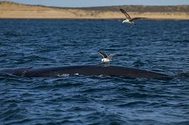 Southern right whale (Eubalaena australis) at surface with Kelp gulls (Larus dominicanus) Valdes Peninsula, Chubut, Patagonia, Argentina  -  Gabriel Rojo/ npl