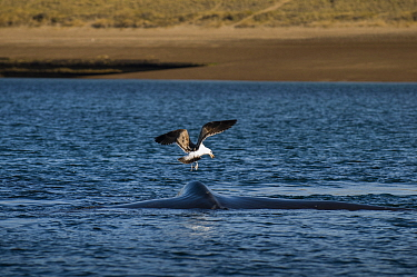 Southern right whale (Eubalaena australis) at surface with Kelp gull (Larus dominicanus) Valdes Peninsula, Chubut, Patagonia, Argentina  -  Gabriel Rojo/ npl