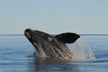 Southern right whale (Eubalaena australis) breaching Valdes Peninsula, Chubut, Patagonia, Argentina  -  Gabriel Rojo/ npl
