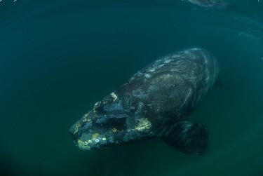 Southern right whale (Eubalaena australis) underwater, Valdes Peninsula, Chubut, Patagonia, Argentina  -  Gabriel Rojo/ npl