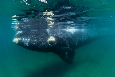 Southern right whale (Eubalaena australis) underwater, close to the surface Valdes Peninsula, Chubut, Patagonia, Argentina  -  Gabriel Rojo/ npl