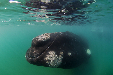 Southern right whale (Eubalaena australis) underwater, close to the surface with barnacles on skin Valdes Peninsula, Chubut, Patagonia, Argentina  -  Gabriel Rojo/ npl