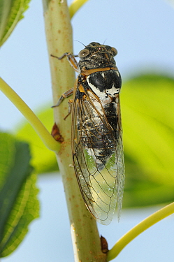 Male European, Common cicada (Lyrisytes plebejus) singing, Epidavros, Greece, August  -  Nick Upton/ npl