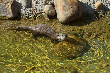 Asian short-clawed otter (Aonyx cinerea) Captive Occurs throughout much of Asia including Bangladesh, Burma,India,South China and the Philippines  -  Barry Mansell/ npl