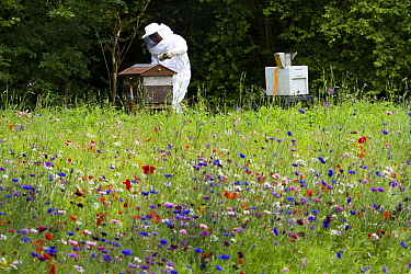 Russell Flynn from Gwent Beekeepers wearing protective bee keeping suit, attending to Honey bee (Apis meliffera) hives in flower meadow, Pontypool, Wales, UK, July 2014  -  David Woodfall/ npl