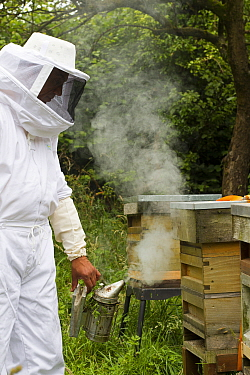 Russell Flynn from Gwent Beekeepers wearing protective bee keeping suit, smoking Honey bee (Apis meliffera) hive, Pontypool, Wales, UK, July 2014  -  David Woodfall/ npl
