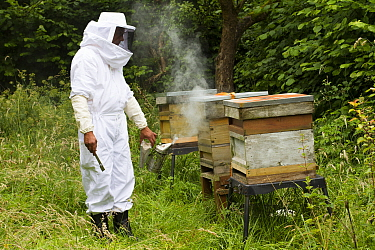 Russell Flynn from Gwent Beekeepers wearing protective bee keeping suit, smoking Honey bee (Apis meliffera) hives in old orchard, Pontypool, Wales, UK, July 2014  -  David Woodfall/ npl