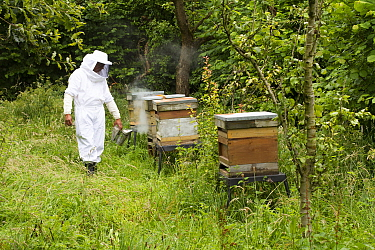 Russell Flynn from Gwent Beekeepers wearing protective bee keeping suit, attending to Honey bee (Apis meliffera) hives in old orchard, Pontypool, Wales, UK, July 2014  -  David Woodfall/ npl