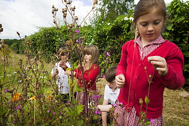 Primary school children looking at wildflowers planted in school garden to attract bees Part of the Friends of the Earth national Bee Friendly campaign, South Wales, UK, July 2014 Model released  -  David Woodfall/ npl