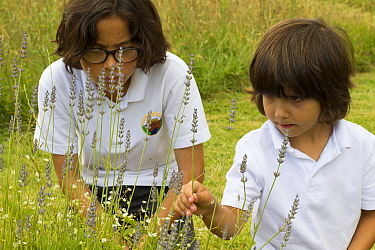 Young boys looking at Lavender (Lavandula sp) flowers planted in school garden to attract bees Part of the Friends of the Earth national Bee Friendly campaign, South Wales, UK, July 2014 Model release...  -  David Woodfall/ npl