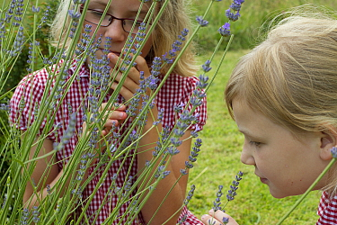 Young girls looking at Lavender (Lavandula sp) flowers planted in school garden to attract bees Part of the Friends of the Earth national Bee Friendly campaign, South Wales, UK, July 2014 Model releas...  -  David Woodfall/ npl
