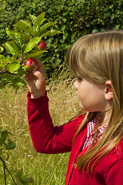 Young girl looking at ripening apples (Malus domestica) planted in school garden to attract bees Part of the Friends of the Earth national Bee Friendly campaign, South Wales, UK, July 2014 Model relea...  -  David Woodfall/ npl