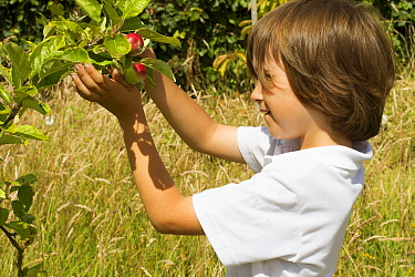 Young boy looking at ripening apples (Malus domestica) planted in school garden to attract bees Part of the Friends of the Earth national Bee Friendly campaign, South Wales, UK, July 2014 Model releas...  -  David Woodfall/ npl