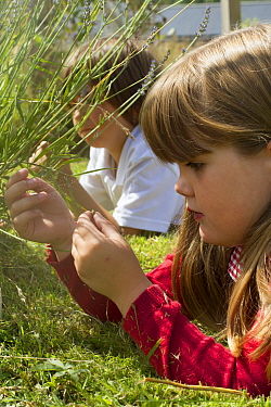 Primary school children looking at Lavender (Lavandula sp) flowers planted in school garden to attract bees Part of the Friends of the Earth national Bee Friendly campaign, South Wales, UK, July 2014...  -  David Woodfall/ npl