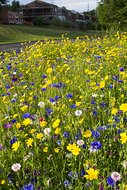 Wildflowers including Corn marigolds (Chrysanthemum segetum) and Cornflowers (Centaurea cyanus) planted on roadside to attract bees Part of the Friends of the Earth Bee Friendly campaign with the Bron...  -  David Woodfall/ npl