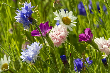 Corncockle (Agrostemma githago), Cornflowers (Centaurea cyanus) and Ox eye daisies (Chrysanthemum leucanthemum) planted to attract bees as part of the Friends of the Earth Bee Friendly campaign South...  -  David Woodfall/ npl