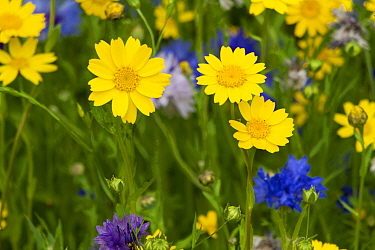Corn marigolds (Chrysanthemum segetum) and Cornflowers (Centaurea cyanus) planted to attract bees as part of the Friends of the Earth Bee Friendly campaign South Wales, UK, July 2014  -  David Woodfall/ npl
