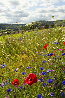 Wildflowers including Wild carrot (Daucus carota), Poppies (Papaver sp) and Cornflowers (Centaurea cyanus) planted in community green space to attract bees Part of a collaboration between Bron Afon co...  -  David Woodfall/ npl