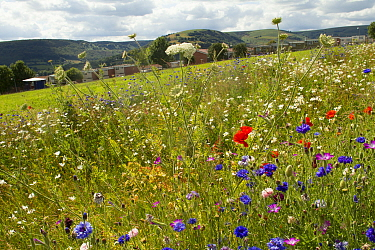 Wildflowers including Wild carrot (Daucus carota) and Cornflowers (Centaurea cyanus) planted in community green space to attract bees Part of collaboration between Bron Afon community Housing Trust an...  -  David Woodfall/ npl
