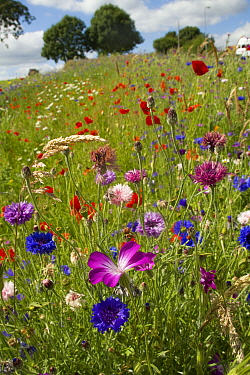 Wildflowers including Corncockle (Agrostemma githago), Poppies (Papaver sp) and Cornflowers (Centaurea cyanus) planted in community green space to attract bees Part of a collaboration between Bron Afo...  -  David Woodfall/ npl