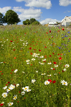 Wildflowers including Poppies (Papaver sp) and Ox eye daisies (Chrysanthemum leucanthemum) planted in community green space to attract bees Part of a collaboration between Bron Afon community Housing...  -  David Woodfall/ npl