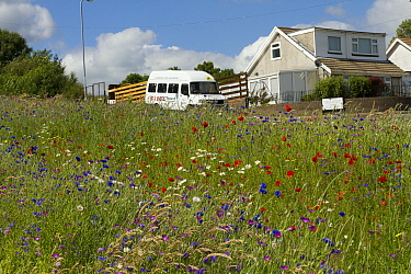 Wildflowers including Poppies (Papaver sp), Ox eye daisies (Chrysanthemum leucanthemum) and Cornflowers (Centaurea cyanus) planted in community green space to attract bees Part of a collaboration betw...  -  David Woodfall/ npl