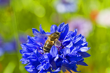 Honey bee (Apis mellifera) feeding on Cornflower (Centaurea cyanus) planted as part of Friends of the Earth Bee Friendly campaign South Wales, UK, July 2014  -  David Woodfall/ npl