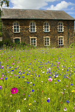 Wildflower garden outside old Welsh chapel Sown to attract bees as part of the Friends of the Earth Bee Friendly campaign with the Bron Afon Community Housing Association, Cwmbran, South Wales, UK Jul...  -  David Woodfall/ npl