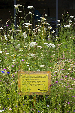 Bee Friendly sign amongst wildflowers, part of Friends of the Earth project in partnership with Bron Afon Housing Association Llantarnam Industrial Park, Cwmbran, South Wales, UK July 2014  -  David Woodfall/ npl