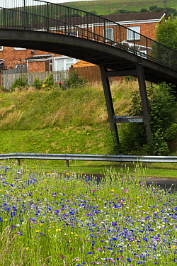Wildflowers planted on roadside to attract bees as part of the Friends of the Earth Bee Friendly campaign with the Bron Afon Community Housing Association, Cwmbran, South Wales, UK July 2014  -  David Woodfall/ npl
