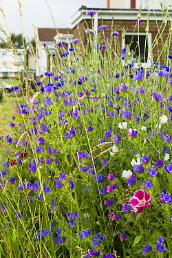 Wildflowers sown to attract bees as part of the Friends of the Earth Bee Friendly campaign with the Bron Afon Community Housing Association, Cwmbran, South Wales, UK July 2014  -  David Woodfall/ npl