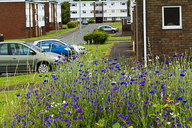Wildflowers including Cornflowers (Centaurea cyanus), sown to attract bees as part of the Friends of the Earth Bee Friendly campaign with the Bron Afon Community Housing Association, Cwmbran, South Wa...  -  David Woodfall/ npl