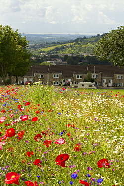 Wildflowers including Poppies (Papaver sp) and Ox eye daisies (Chrysanthemum leucanthemum) planted to attract bees as part of the Friends of the Earth Bee Friendly project carried out with the Bron Af...  -  David Woodfall/ npl