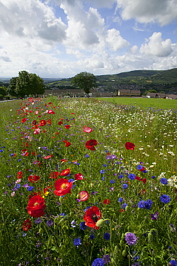Wildflowers including Poppies (Papaver sp), Ox eye daisies (Chrysanthemum leucanthemum) and Cornflowers (Centaurea cyanus) planted to attract bees as part of the Friends of the Earth Bee Friendly proj...  -  David Woodfall/ npl