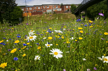 Ox eye daisies (Chrysanthemum leucanthemum) and Meadow buttercups (Ranunculus acris) sown to attract bees as part of the Friends of the Earth Bee Friendly campaign with the Bron Afon Community Housing...  -  David Woodfall/ npl