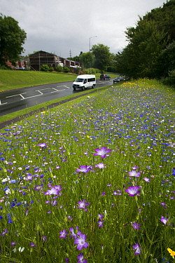 Wildflowers including Corncockle (Agrostemma githago) and Cornflowers (Centaurea cyanus) planted on roadside to attract bees Part of the Friends of the Earth Bee Friendly campaign with the Bron Afon C...  -  David Woodfall/ npl