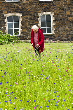 Elderly woman enjoying wildflower garden, sown to attract bees as part of the Friends of the Earth Bee Friendly campaign with the Bron Afon Community Housing Association, Cwmbran, South Wales, UK July...  -  David Woodfall/ npl