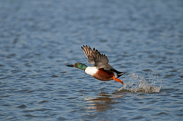 Northern shoveler (Anas clypeata) male taking off from water, Antwerp, Belgium, March  -  Bernard Castelein/ npl