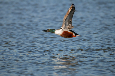 Northern shoveler (Anas clypeata) male in flight over water, Antwerp, Belgium, March  -  Bernard Castelein/ npl