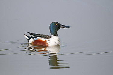 Northern shoveler (Anas clypeata) male swimming, Antwerp, Belgium, May  -  Bernard Castelein/ npl