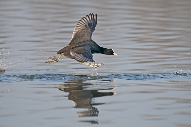 Common coot (Fulica atra) taking off from water, Antwerp, Belgium, March  -  Bernard Castelein/ npl