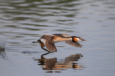 Great crested grebe (Podiceps cristatus) running on water, defending territory Antwerp, Belgium, June  -  Bernard Castelein/ npl