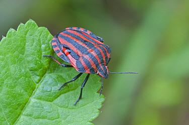 Shield bug (Graphosoma italicum) Peerdsbos, Brasschaat, Belgium, May  -  Bernard Castelein/ npl
