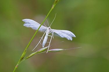 White plume moth (Pterophorus pentadactyla) Peerdsbos, Brasschaat, Belgium, June  -  Bernard Castelein/ npl